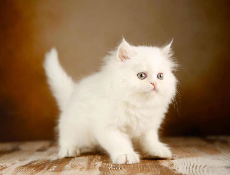 بچه گربه ازاری